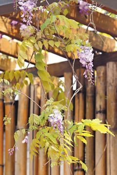 台北花卉村的紫藤季26日展開
