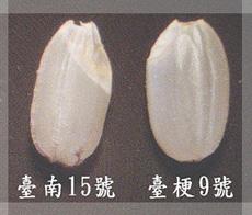 台南15號胚芽較大  (圖片來源:行政院農委會台南改良場)
