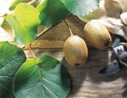 紐西蘭果農自發性創立「奇異果環保蟲害管理規範(KiwiGreenTM)」法規,開始一連串的綠色經營原則