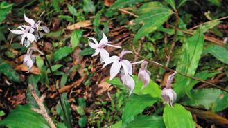 台灣特有種蘭花