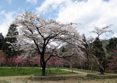 阿里山櫻花季15日開跑,花季主角吉野櫻已開始綻放。(圖片來源:中央社)