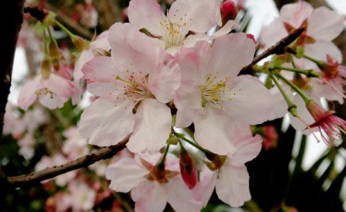 淡水天元宮美麗的粉色櫻花。(圖片來源:賴淑娟)