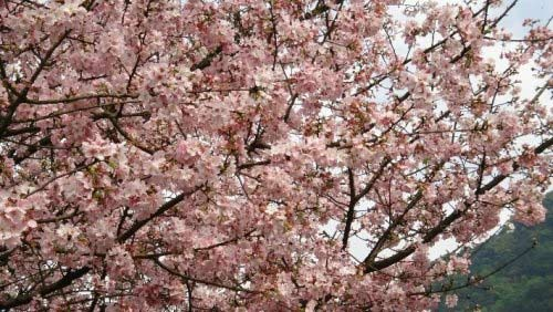 進入盛花期的天元宮粉櫻。(圖片來源:賴淑娟)
