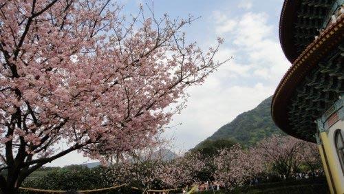 環繞天元宮綻放的迷人櫻花。(圖片來源:賴淑娟)