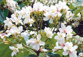八卦山區的油桐花已盛開,民眾可使用智慧手機APP程式下載「八卦山遊桐趣」查詢資訊。(圖片來源:聯合報/劉明岩)