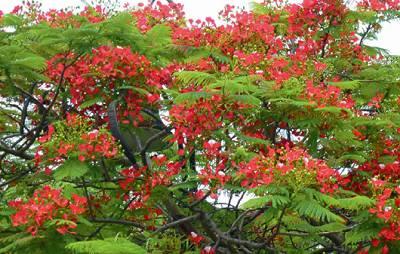 北路鳳凰木開紅花 (圖片來源:聯合報/謝進盛