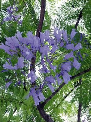 南科南路上藍花楹綻放 (圖片來源:聯合報/謝進盛