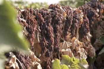 傳統的葡萄乾製作是採用日光曝曬,這樣的古法製作比烤爐烘乾方式天然