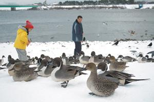 秋田縣有許多賞鳥好地方,鳥兒完全不怕人的在腳邊停留。王曉鈴/攝影
