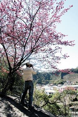 從台14甲線彎進廬山必經的春陽部落,路邊的山櫻花競相怒放,遊人忍不住停車就地拍起照片來。