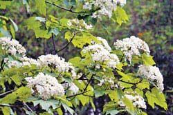 大窩山的油桐花養在深閨人未識,在非人工刻意栽種下,深具野趣