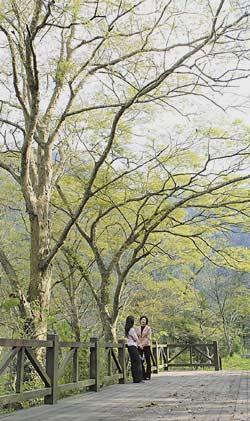 清泉部落河岸旁的大片櫸木林是散步、欣賞溪谷的好去處,過去這裡曾是番童教育所
