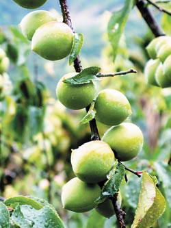 要製作爽口的脆梅必須採摘枝頭上這種五六分熟的青春梅子