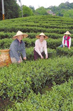 張秀足帶領烏塗社區的媽媽們去美麗的茶園採茶,這可是天然的茶染布材料。