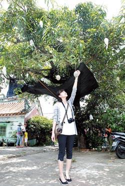 全台第一棵愛文芒果樹現在非常高大,已經變成景觀樹木,但相當有紀念價值。