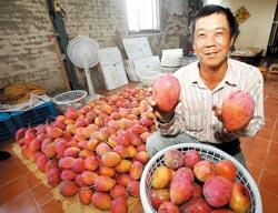 張勝評是愛文芒果達人,對於果園的管理有獨到的見解,他出品的芒果常和高級的百貨公司合作。