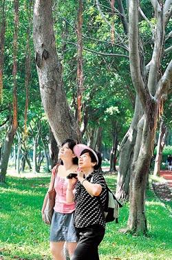 榕樹下很容易看到多樣的生態,張蕙芬(左)總會帶著望遠鏡在樹下觀察自然界的動靜。