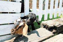 沒有搶到奶的小羊,從柵欄下方鑽出頭來看熱鬧。
