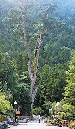 明池神木真實身分是紅檜,樹齡有1500歲,雄偉壯觀