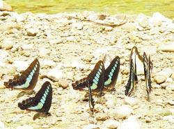 此刻雙溪正彩蝶飛舞,水邊、草叢邊可看到大量斑蝶的蹤跡。