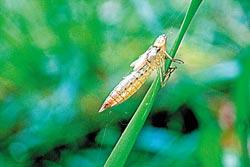 夏天是蜻蜓的季節,在天溪園發現不少蜻蜓脫殼而去。