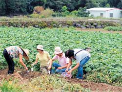 金山地瓜剛進入採收期,來吃地瓜可以順便欣賞農村風情。