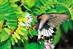 ▲苗栗大三通景點處處都是田園,經常可見鳳蝶飛舞,生態豐富。攝影  陳志東