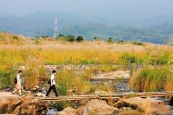 ▲大安溪河床甜根子盛開,為夏季帶來秋天的蒼茫美景。攝影  陳志東