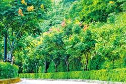 ▲秋季的台灣欒樹正要盛開,黃黃紅紅綠綠非常美麗。攝影  陳志東