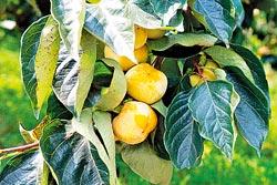 ▲柿子正要成熟,等中秋節前後,就是新埔一年一度最盛大的曬柿餅季節。攝影  陳志東