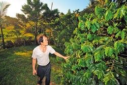 ▲竹柏山莊咖啡園佔一甲地,種植日治時代引進的阿拉比卡咖啡豆。攝影  鄭任南