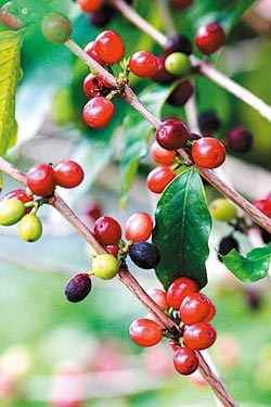▲台灣咖啡都是阿拉比卡種,秋天成熟時就是這樣紅通通。攝影  陳志東