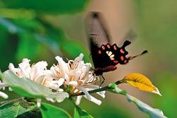 ▲咖啡一年四季都可開花結果,但通常是4月開白花,10月咖啡子變紅,進入盛產。攝影  陳志東
