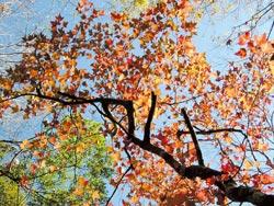 ▲台灣地區賞紅葉,以楓香為主要對象。攝影  沈揮勝