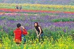 ▲新社花海色彩繽紛,吸引許多情侶到此拍照,留下美麗記憶。攝影  陳志東