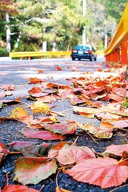 ▲中橫公路的紅葉繽紛,是深秋的色彩之美。攝影  陳志東