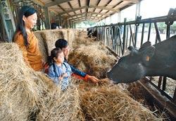 ▲來休閒綜合農牧場餵牛吃草,是小朋友最喜歡的體驗活動。攝影  陳志東