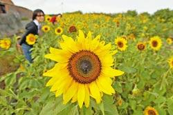 ▲向日葵農場種植大片向日葵花田,在陽光下開得好燦爛。攝影  王錦河