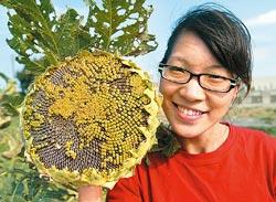 ▲比人臉大的向日葵,結出新鮮好吃的葵花子。攝影  王錦河