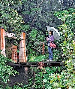 ▲桂花吊橋橫跨大坑溪,是桂花步道景點之一,造型小巧可愛。攝影  王英豪