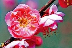 ▲武陵的重瓣紅梅,是冬季即將登場的代表性花卉,模樣嬌美。攝影  陳志東