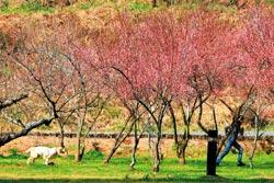 ▲秋天過後的冬季與春季,武陵與福壽山的梅、櫻、桃、李與蘋果花將陸續盛開,另有一種美麗。攝影  陳志東