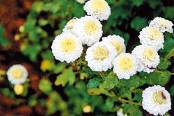 ▲杭白菊是銅鑼主要品種,另有顏色鮮黃的金菊,兩種各有不同中藥效果。攝影  陳志東