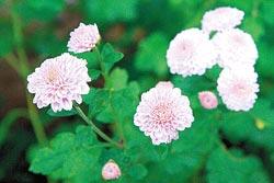 ▲粉紫色杭菊是杭白菊變種,種植面積較小,但顏色討喜適合觀賞。攝影  陳志東