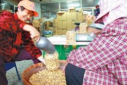 ▲每年冬季來臨之前,就是杭菊採收裝罐時,農民臉上滿是喜悅。攝影  陳志東