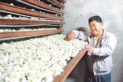 ▲九湖農場休息站老闆韓順雄說,杭菊要趁晴天花朵濕度較低時採收,並立即乾燥。攝影  陳志東