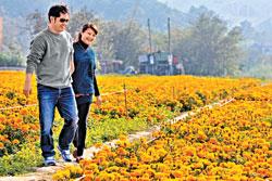 ▲今年通霄花海長達3、4個月,每個禮拜都有花盛開,牽手漫步花叢就是幸福。攝影  陳志東