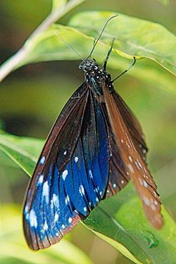 ▲紫斑蝶翅膀背面有特殊的物理性鱗粉,隨著觀賞角度的差異呈現藍或紫的層次變化。攝影  方濬哲