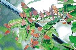▲紫斑蝶在樹上休息時會排成一串,成為蝶樹的驚人景象。攝影  方濬哲