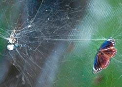 ▲紫斑蝶的天敵是蜘蛛,碰到蜘蛛網很難掙脫。攝影  方濬哲